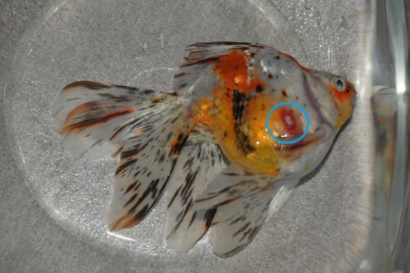 Voile de chine mort ce matin for Reproduction poisson rouge