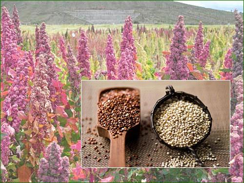 La quinoa plante sacr e des incas for Plante quinoa