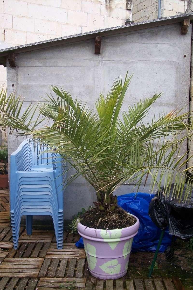 Rempoter palmier for Plante palmier exterieur