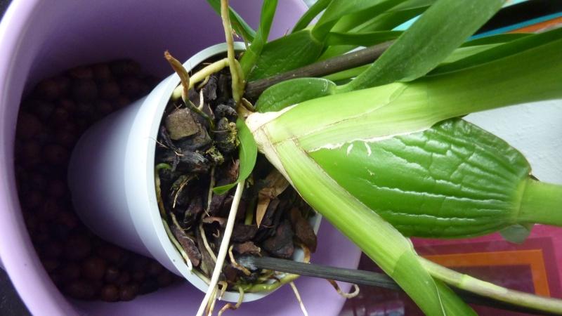Brassia lawrenceana au jardin forum de jardinage - Comment couper la tige d une orchidee apres floraison ...