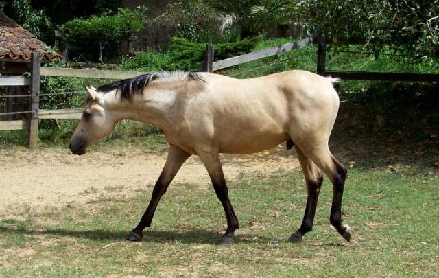cheval arabe isabelle