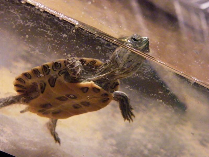identification d 39 une petite tortue d 39 eau douce. Black Bedroom Furniture Sets. Home Design Ideas