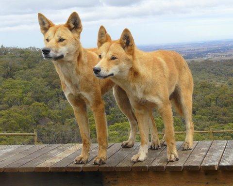 """Résultat de recherche d'images pour """"dingos australie"""""""