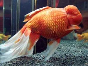 La v rit sur le poisson rouge for Nettoyage bassin poisson rouge