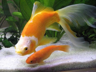 Les id es re ues sur le poisson rouge for Poisson aquarium boule