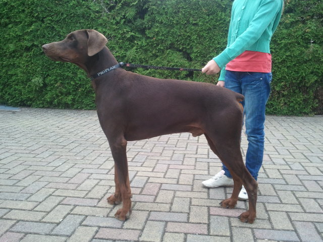 Le dobermann - Elevage dobermann oreilles coupees ...