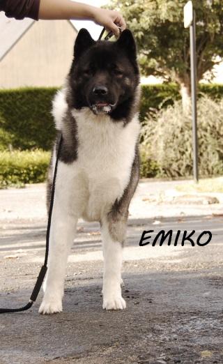 Emiko akita americain