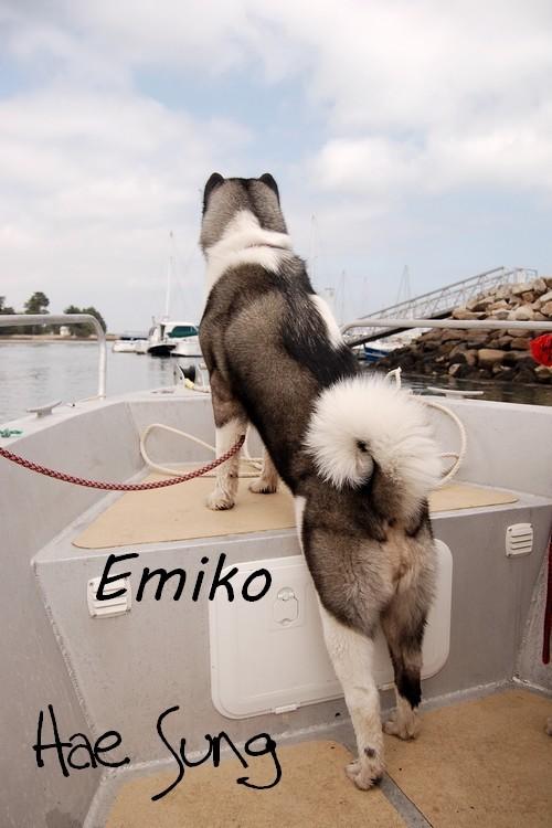 Akim akita inu, Emiko akita americain
