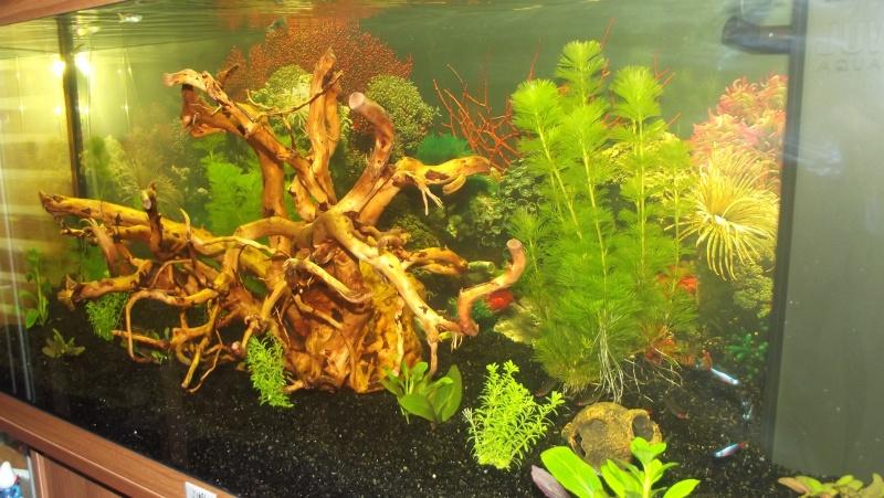 Lancement d 39 un aqua d 39 eau douce for Racine aquarium