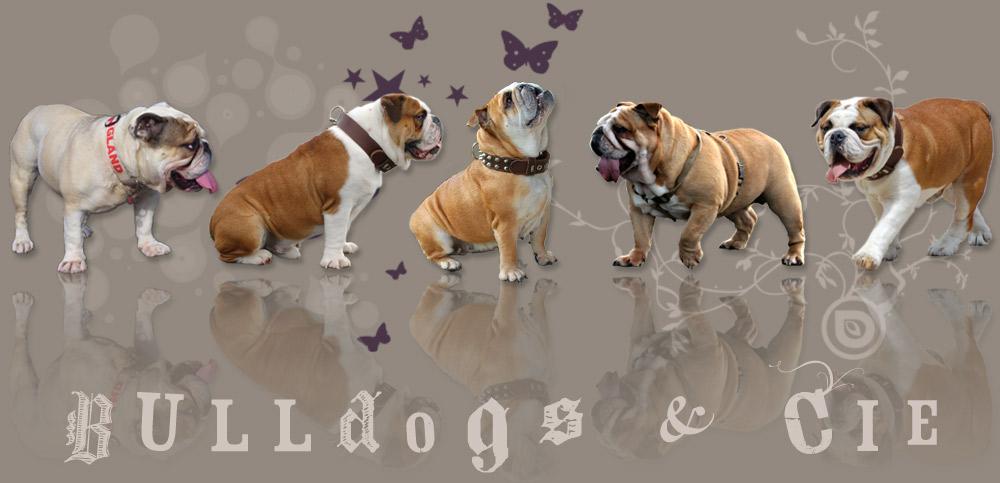 LE Forum Bulldog Anglais : Bulldogs et Cie