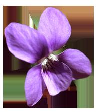 violette de toulouse culture