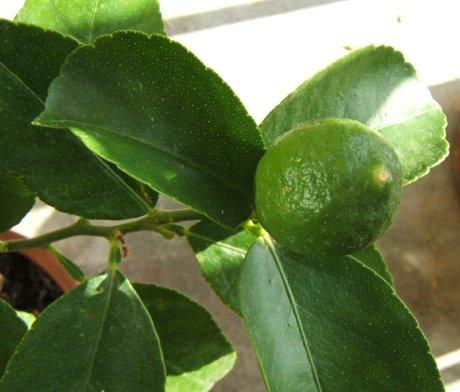 Le citronnier - Citronnier feuilles jaunes ...