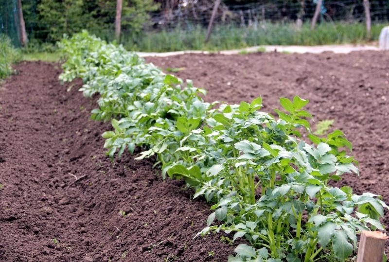Bientot il faut planter les pommes de terre - Date plantation pomme de terre ...
