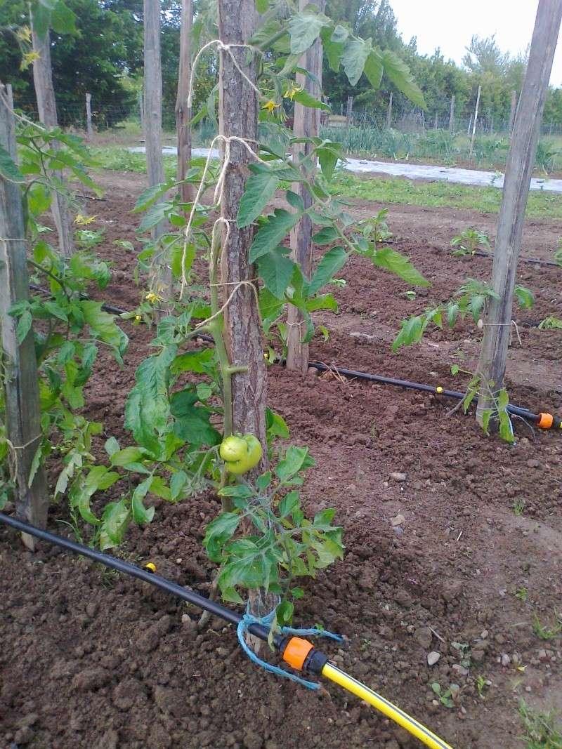Bientot il faut planter les pommes de terre page 2 - Planter les pommes de terre ...