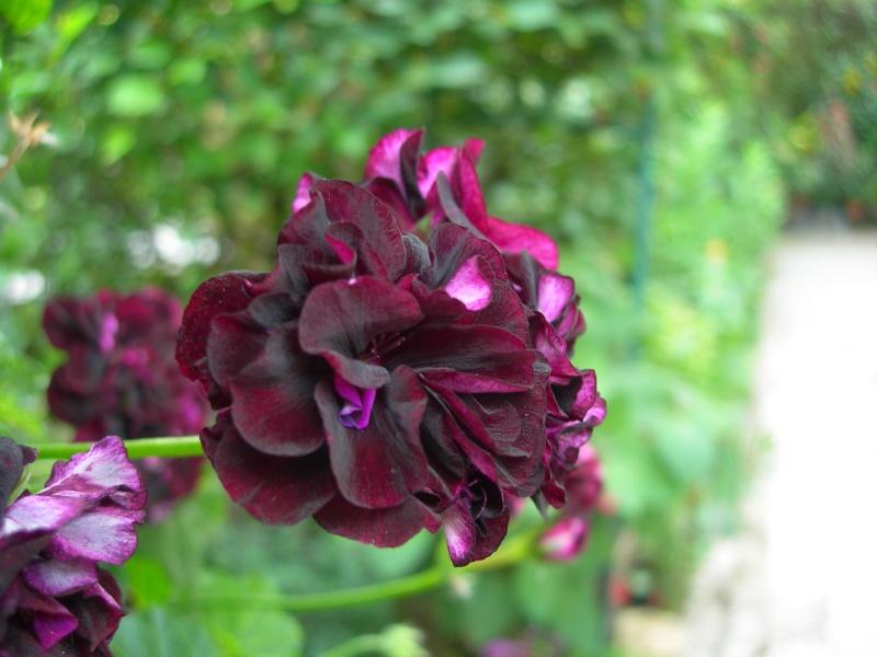 pelargonium peltatum couleur aubergine tr s sombre. Black Bedroom Furniture Sets. Home Design Ideas