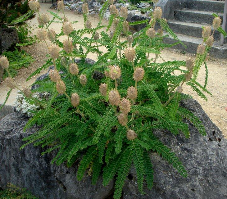 Une plante de rocaille inconnue astragalus alopecurus for Plante au jardin