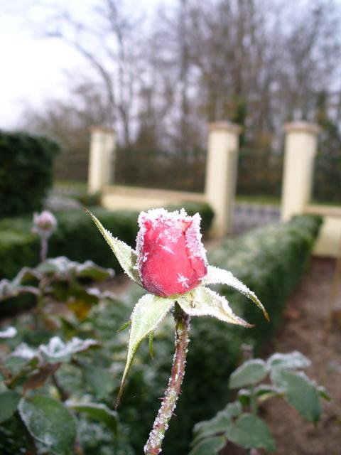 rose_g10.jpg