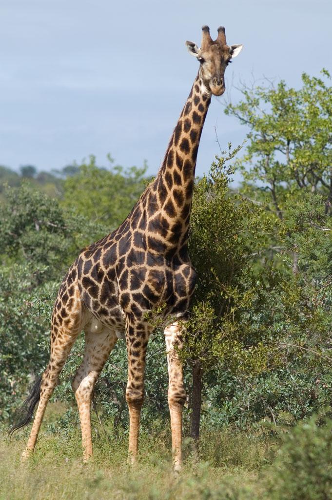 La description de la girafe for Prix d une girafe a poncer