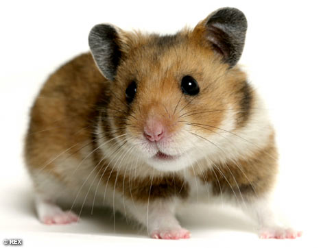 comment faire pour convaincre ses parent d 39 avoir un hamster animaux forum. Black Bedroom Furniture Sets. Home Design Ideas