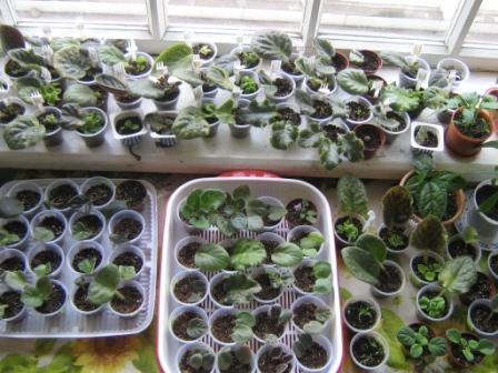 Выращивание сенполии из семян в домашних условиях 20