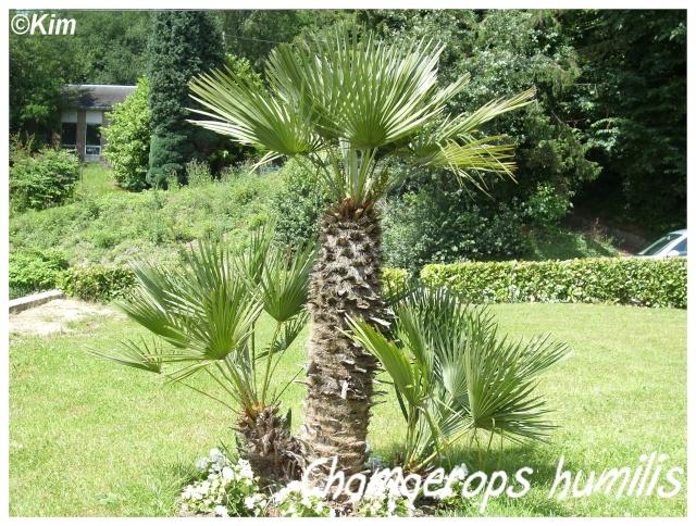 Chamaerops humilis for Entretien palmier exterieur