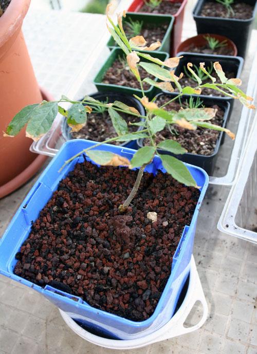 Glycine en bonsai bof bof for Glicine bonsai prezzo