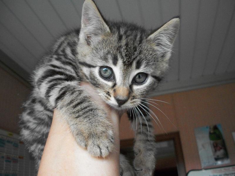 Résultats de recherche d'images pour «chaton tigré gris»