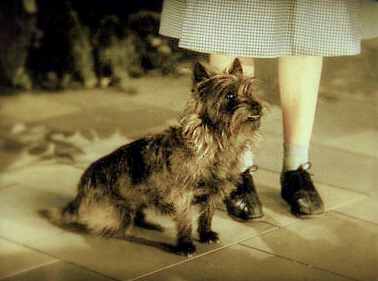 I Cairn Terrier in Italia