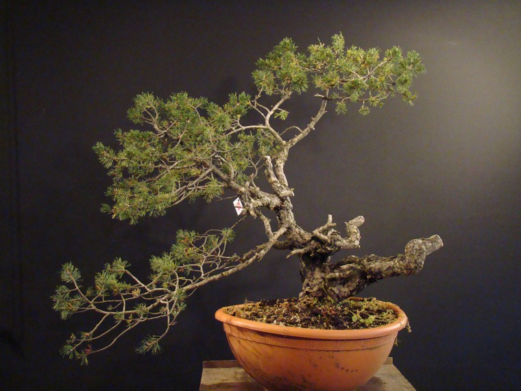 pinus sylvestris yamadori with jin and node 2008. Black Bedroom Furniture Sets. Home Design Ideas