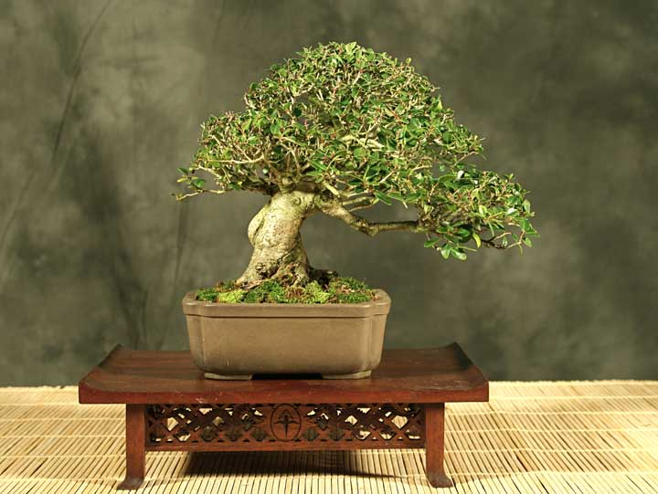 Yaupon holly ilex vomitoria tips needed for Holly tree bonsai