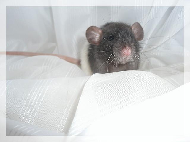 rencontre de deux rats