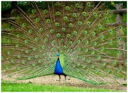 Les couleurs des paons - Couleur bleu paon ...