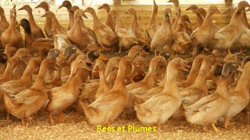 Le canard orpington - Cuisiner un canard entier ...