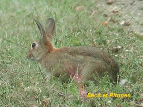 Le lapin domestique - Cuisiner un lapin de garenne ...