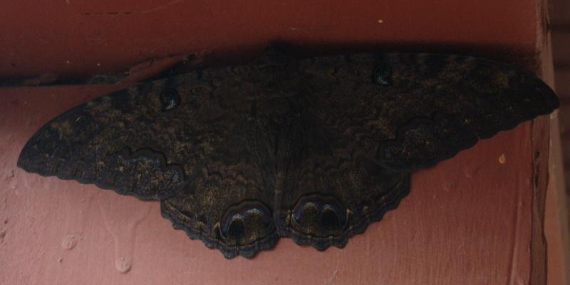 Macabro ascalapha odorata la mariposa de la muerte - Murcielago en casa significado ...