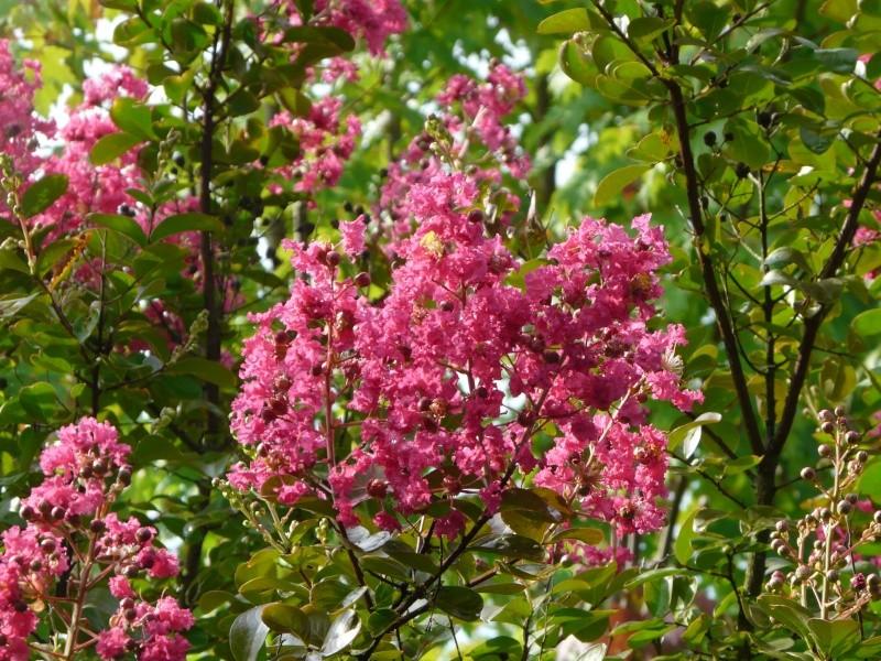 Arbuste lilas des indes ou lagestroema - Lilas des indes blanc ...