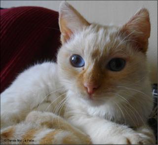 barry rebaptis gribouille chaton crois siamois roux beige de 6 mois. Black Bedroom Furniture Sets. Home Design Ideas