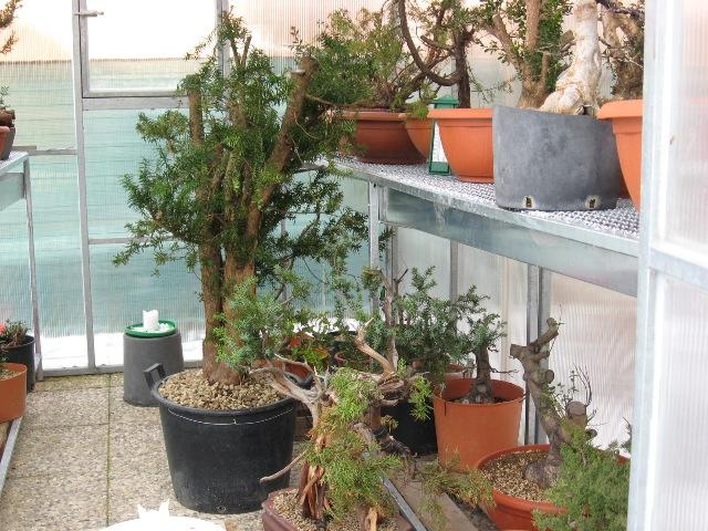 Dove coltiviamo i nostri bonsai pagina 5 for Dove comprare bonsai