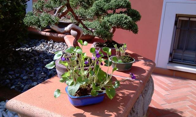 Dove coltiviamo i nostri bonsai pagina 8 for Dove comprare bonsai