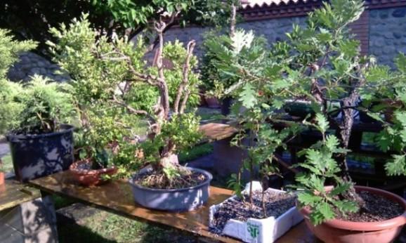 Bonsai dove coltiviamo i nostri bonsai pagina 12 for Dove comprare bonsai