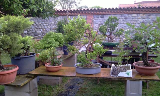 Dove coltiviamo i nostri bonsai pagina 12 for Dove comprare bonsai