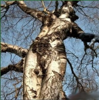 L'arbre s'endort. dans LES 4 SAISONS arbre010