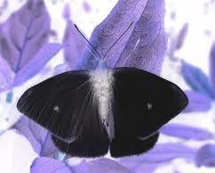 Les papillons noirs du Printemps dans LES 4 SAISONS images78