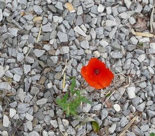 Une fleur du hasard. dans POESIES, TEXTES p1150712