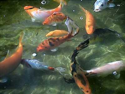Les poisssons de bassin - Bassin poisson rouge sans filtre roubaix ...