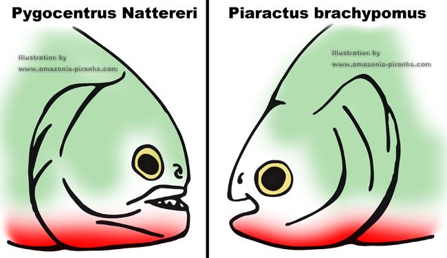 piranha a ventre rouge aquarium