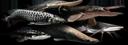 Atlas des poissons Prédateurs