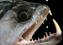 Présentation de vos poissons prédateurs