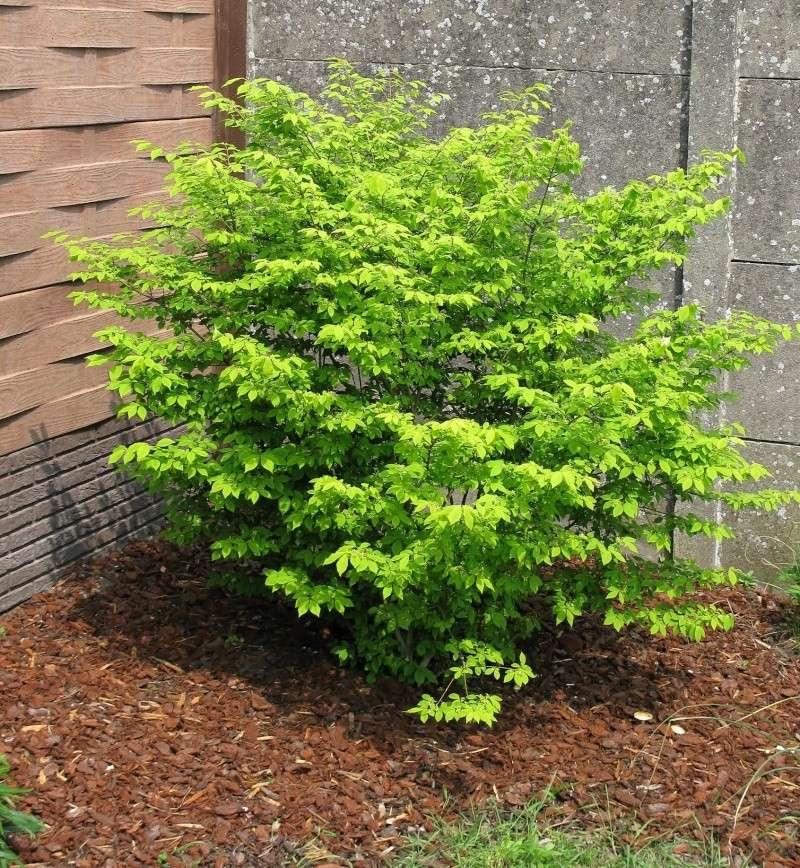 Arbuste vert feuilles vertes qui deviennent rouges for Comarbuste a feuille rouge