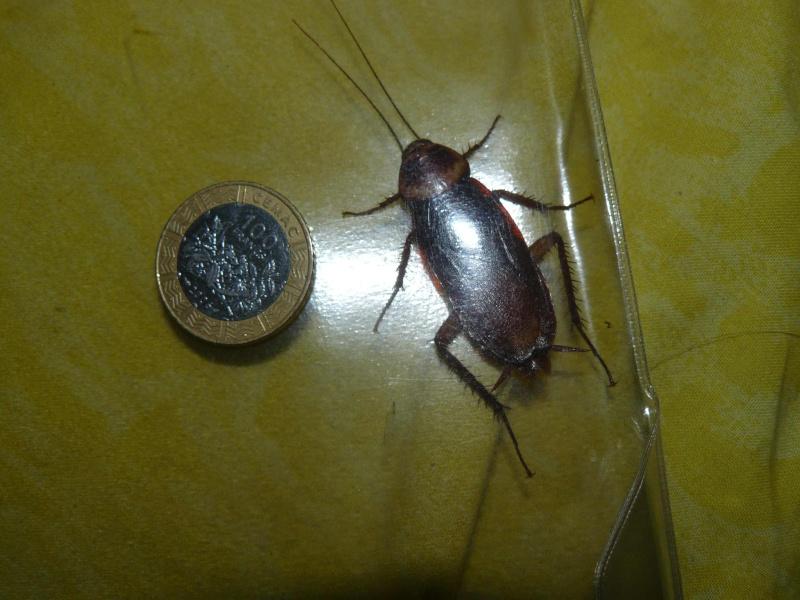 periplaneta sp blatte cameroun le monde des insectes. Black Bedroom Furniture Sets. Home Design Ideas
